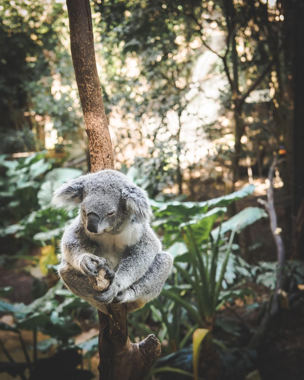 koala sitting on tree branch