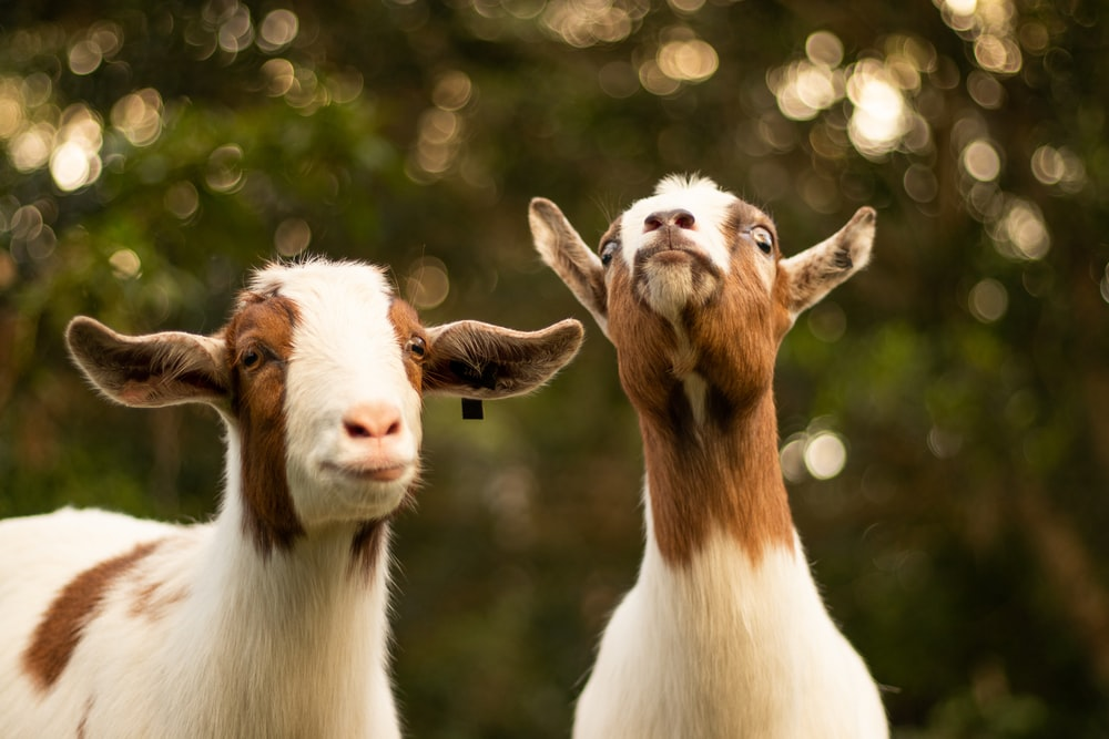 brown and white goats
