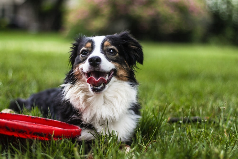 black, white and tan long coat medium dog lying on grasses in lawn beside red frisbee