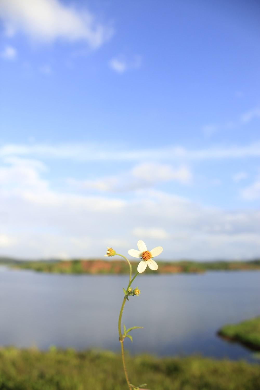 white petaled flower near lake under clear blue sky