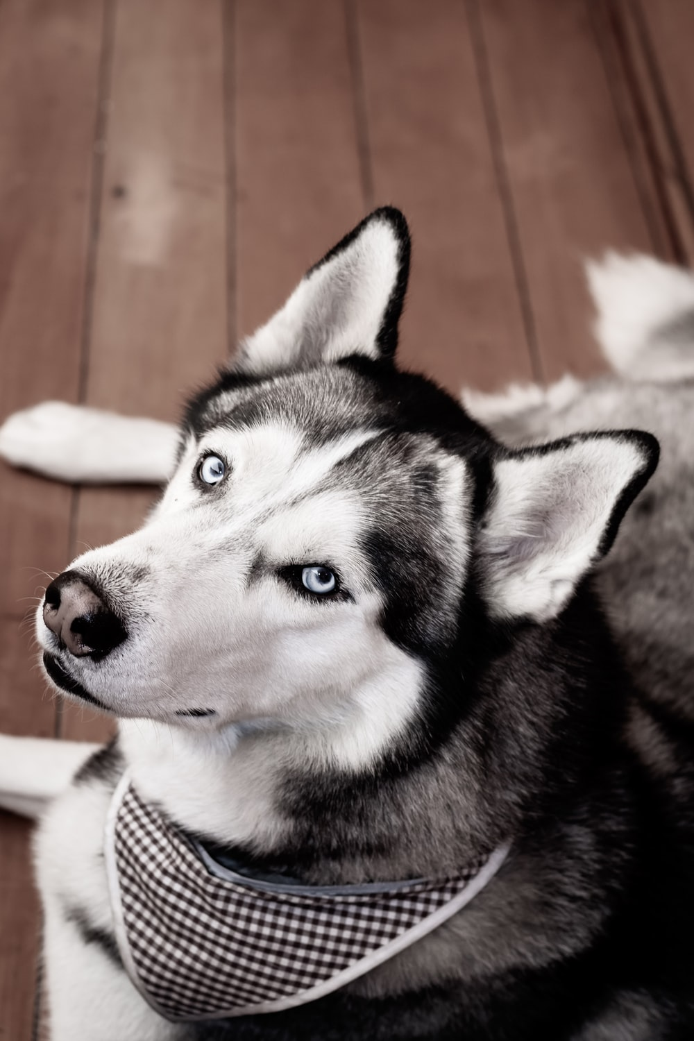 Get Husky Wallpaper  Pictures
