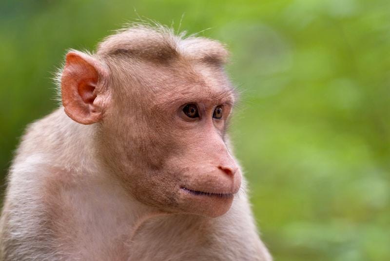 Bois Macaque