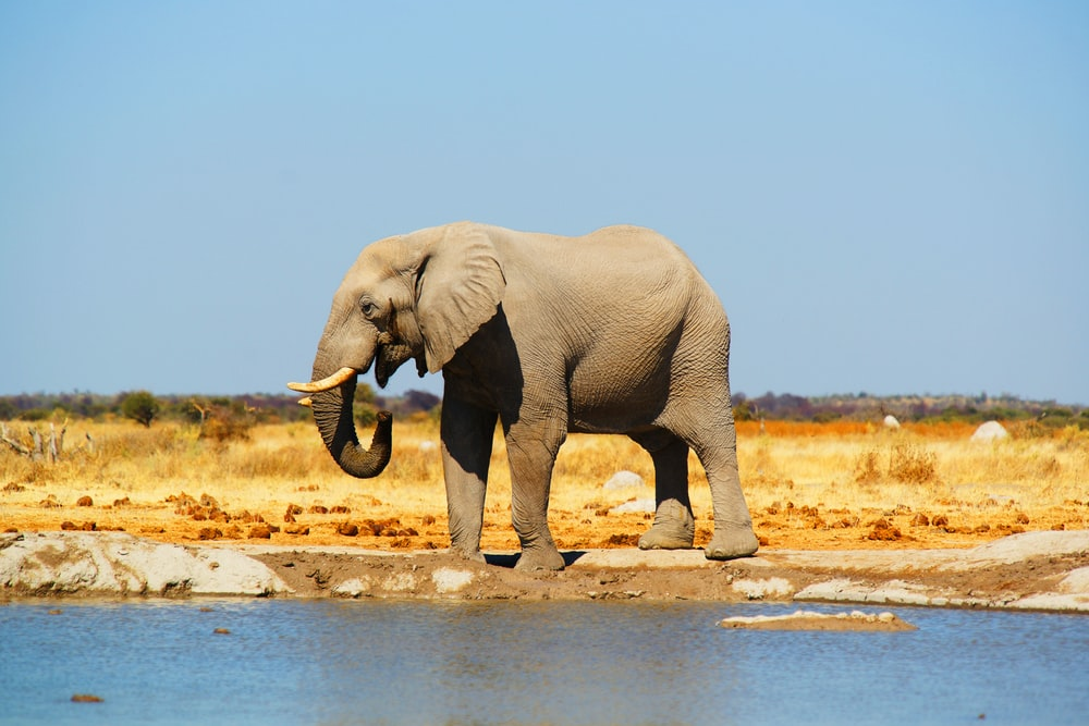 gray elephant standing near body of water