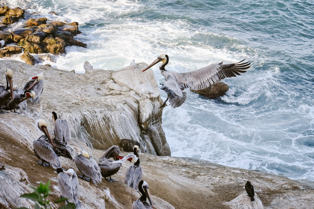 flocks of grey sea birds resting on rock by the sea