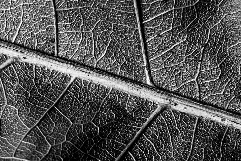 grayscale photo of leaf in closeup photo