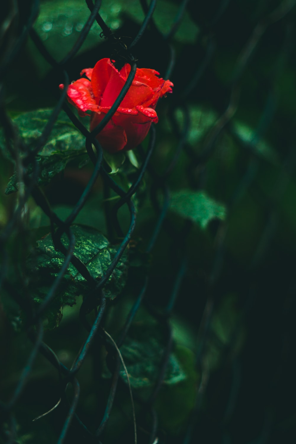 selective focus photography of red rose flower in chain link fence during daytime