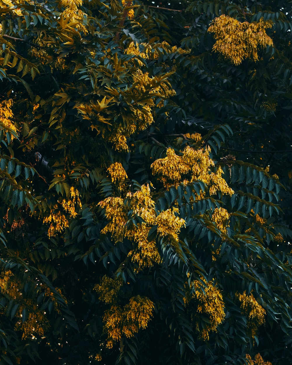 yellow petaled flowering tree