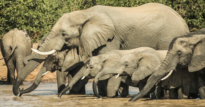 brown elephants drinking water