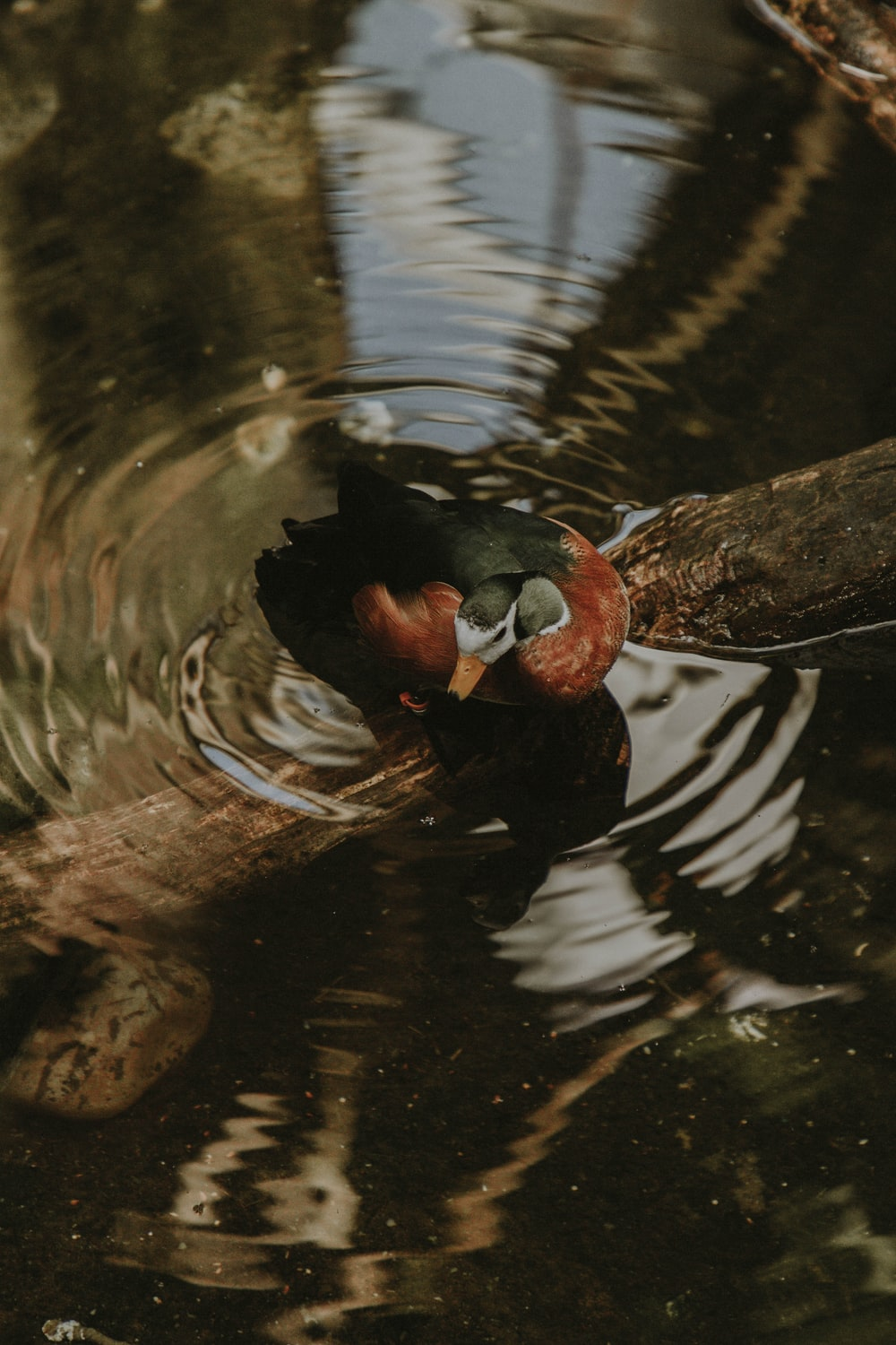 red and black mallard duck on water with fallen tree bark
