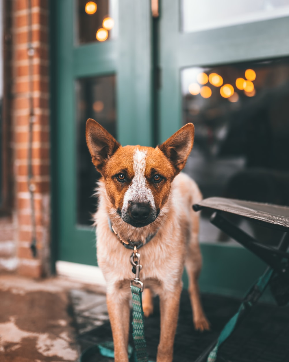 short-coated white and brown dog near closed door