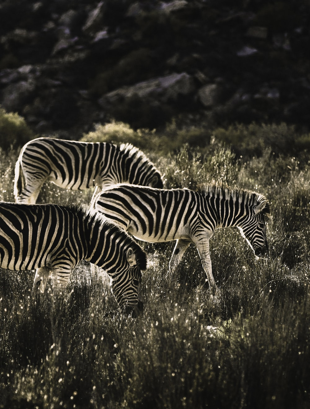 three zebras in field