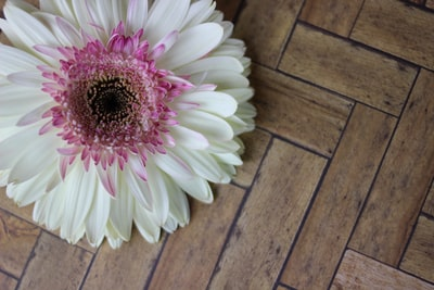 blooming white and purple gerbera daisy flower