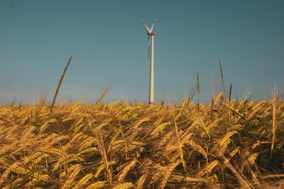 Cornfield and Windmill