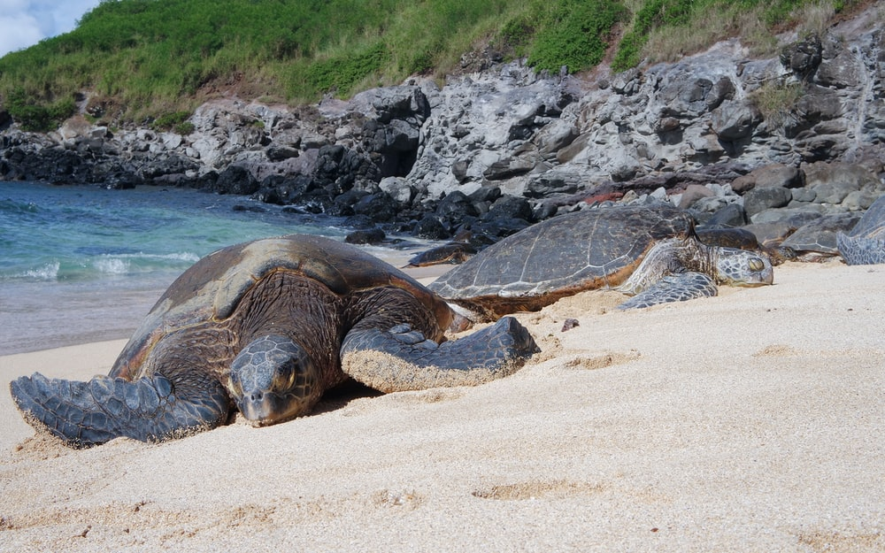 two brown turtles on brown sand