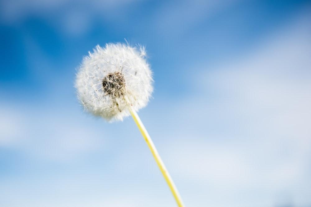 white dandelion flower under blue sky