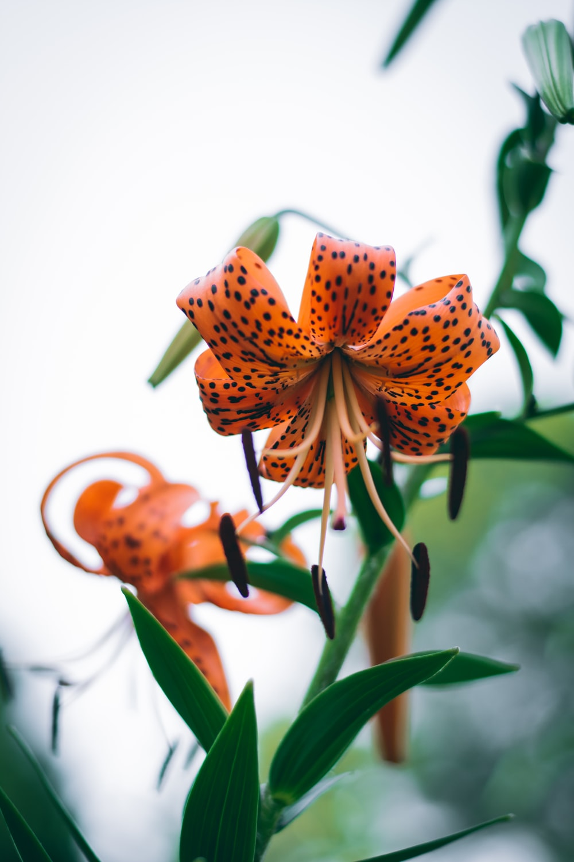 orange and black tiger lily flower during daytime