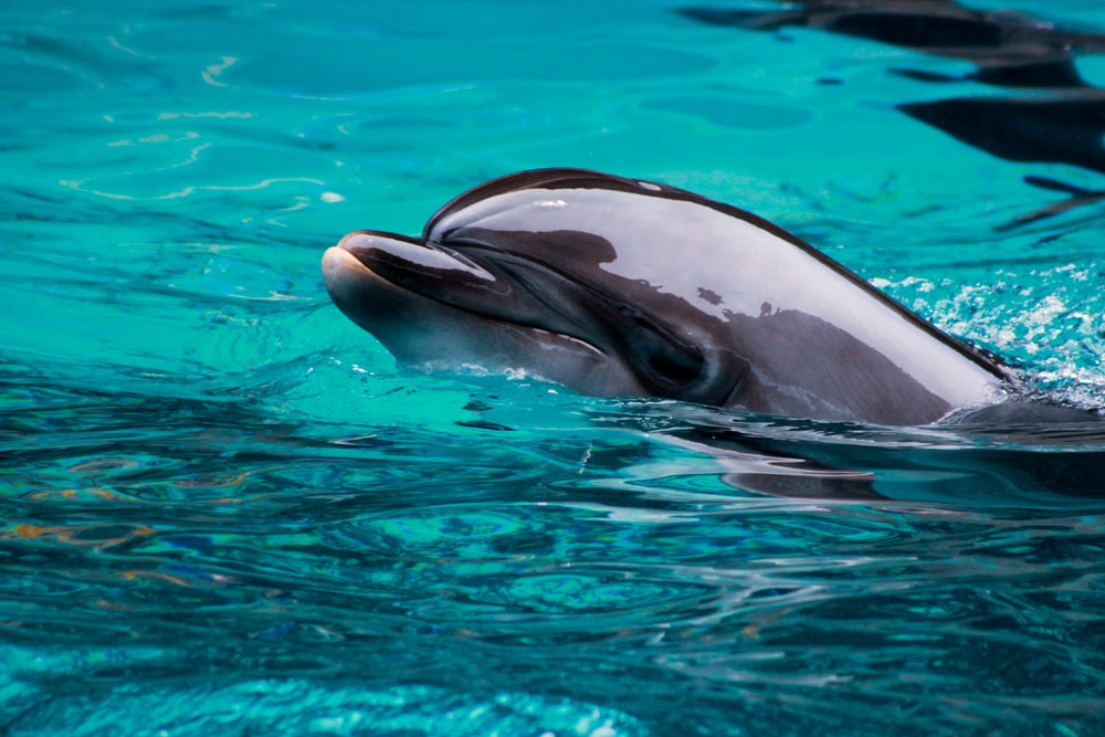grey dolphin in a body of water close-up photography