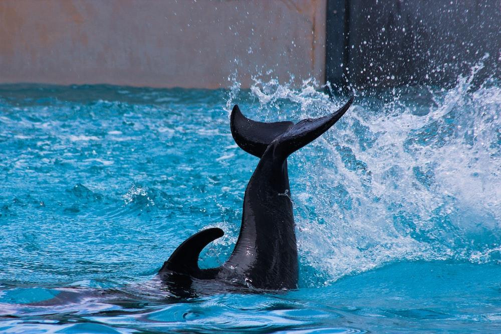 black dolphin under water