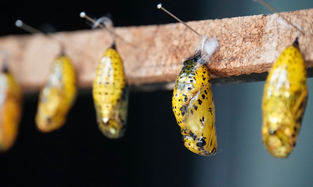 Not only are beautiful the butterflies stages in some lepidopters, they are golden chrysalis of Idea leuconoe.