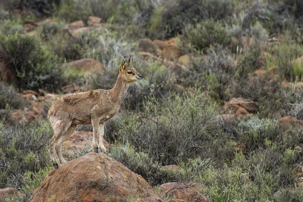 brown deer standing on brown rock during daytime