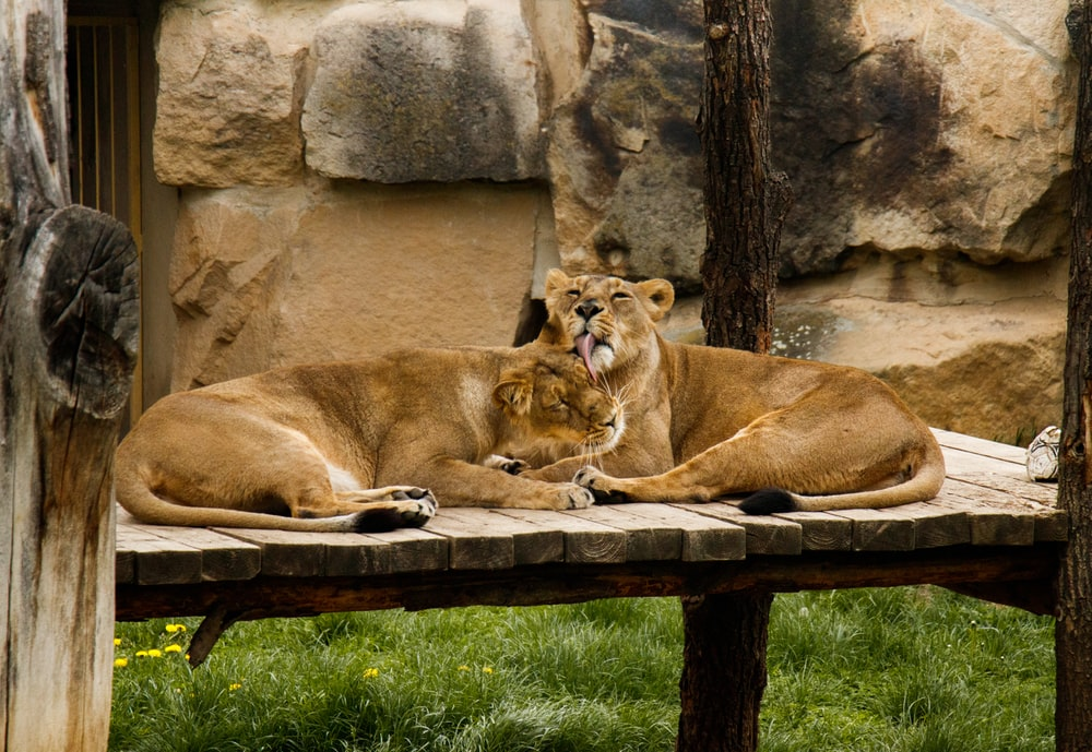 brown lion and lioness lying on brown wooden surface during daytime