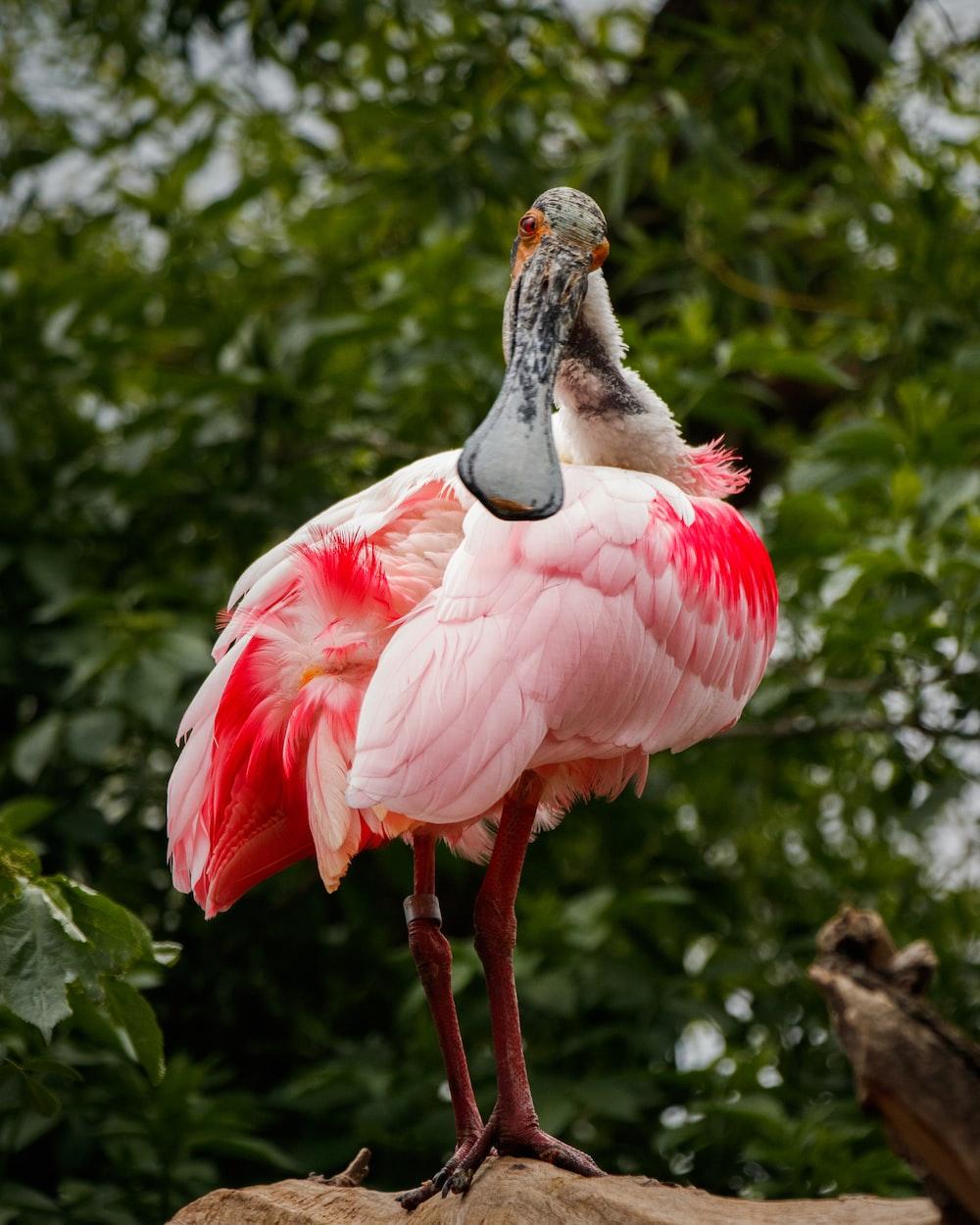 pink long-beaked bird on brown rock