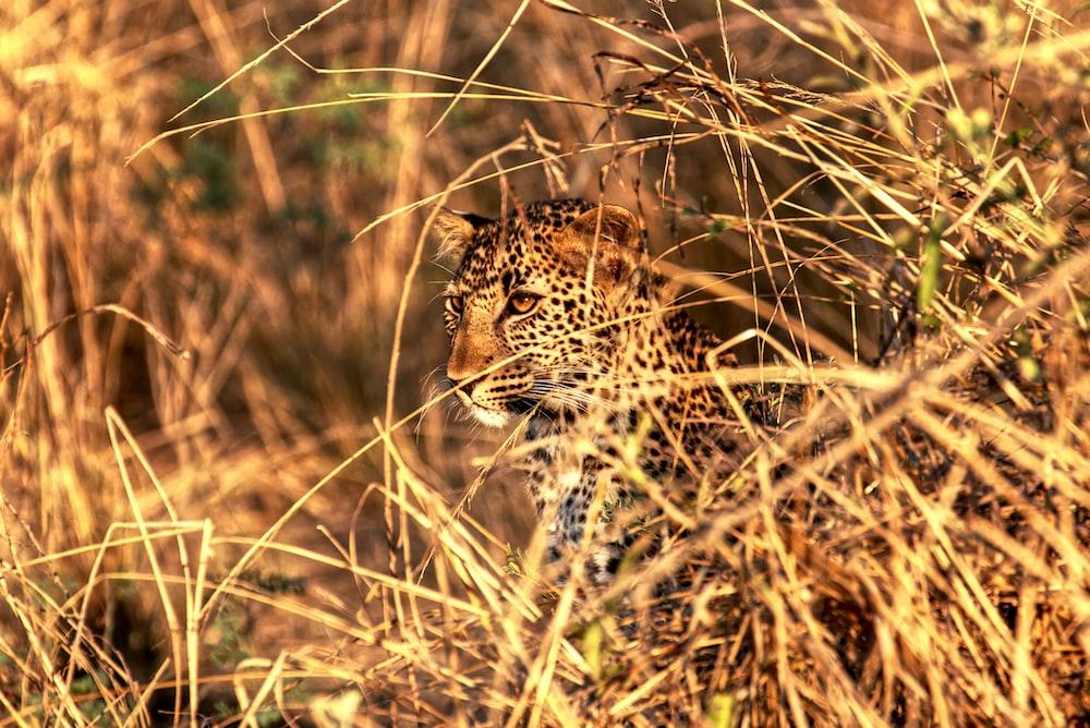 brown leopard on grass field