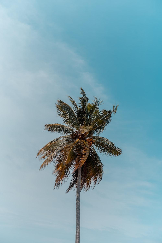green coconut tree under blue sky