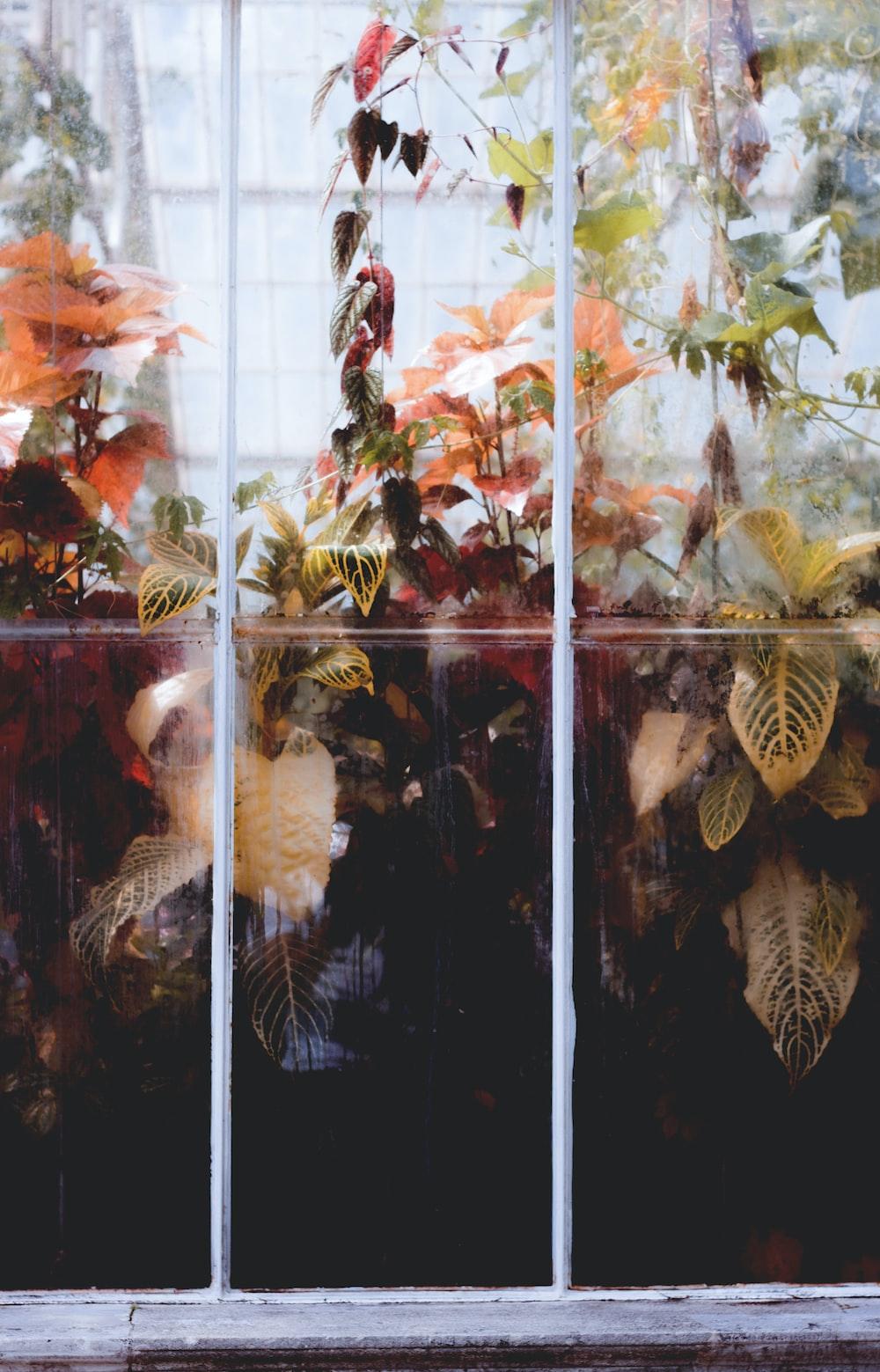rushfoil plants