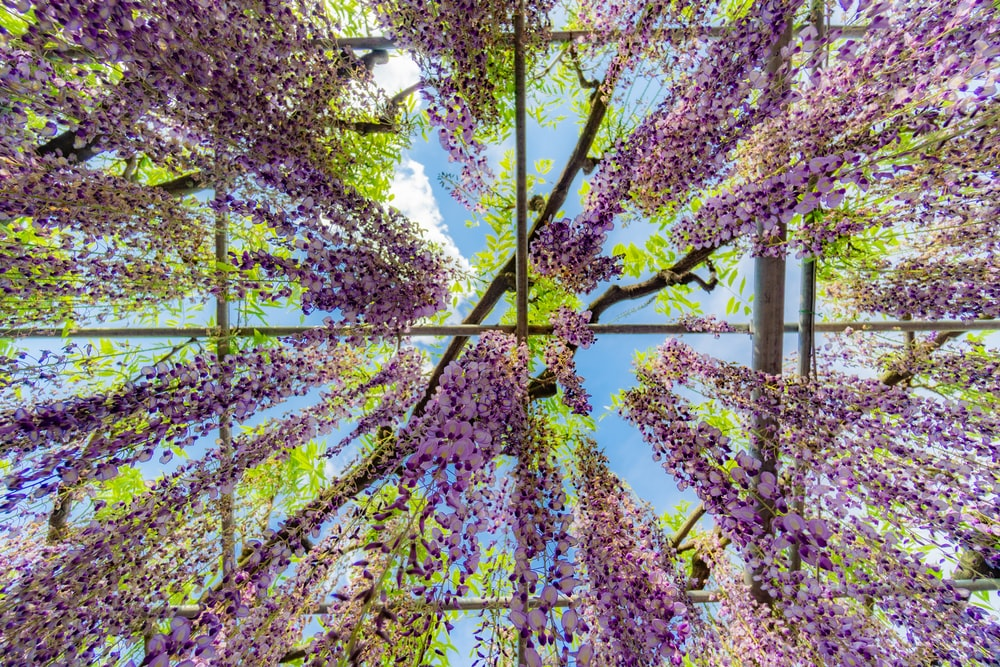 low angle photography of purple wisteria flowers during daytime