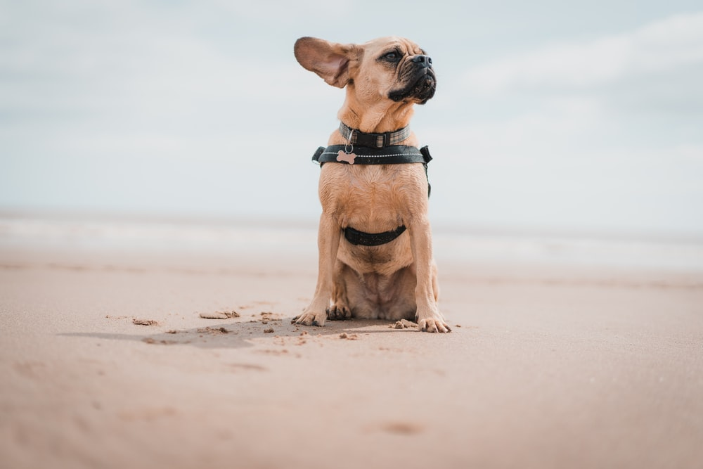 brown short-coated dog sitting on seashore