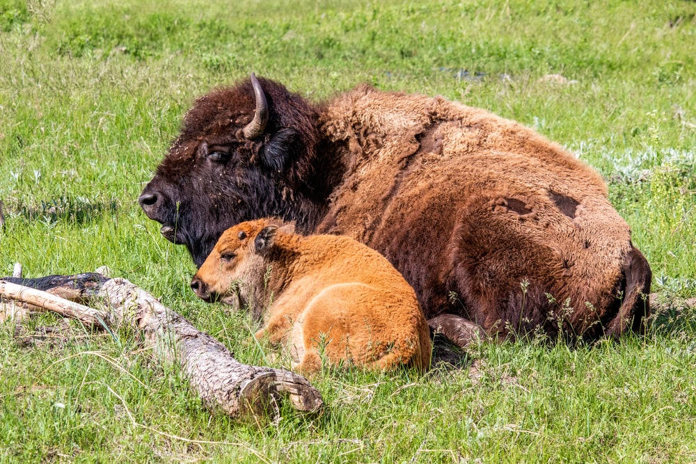 two brown animals lying on green grass