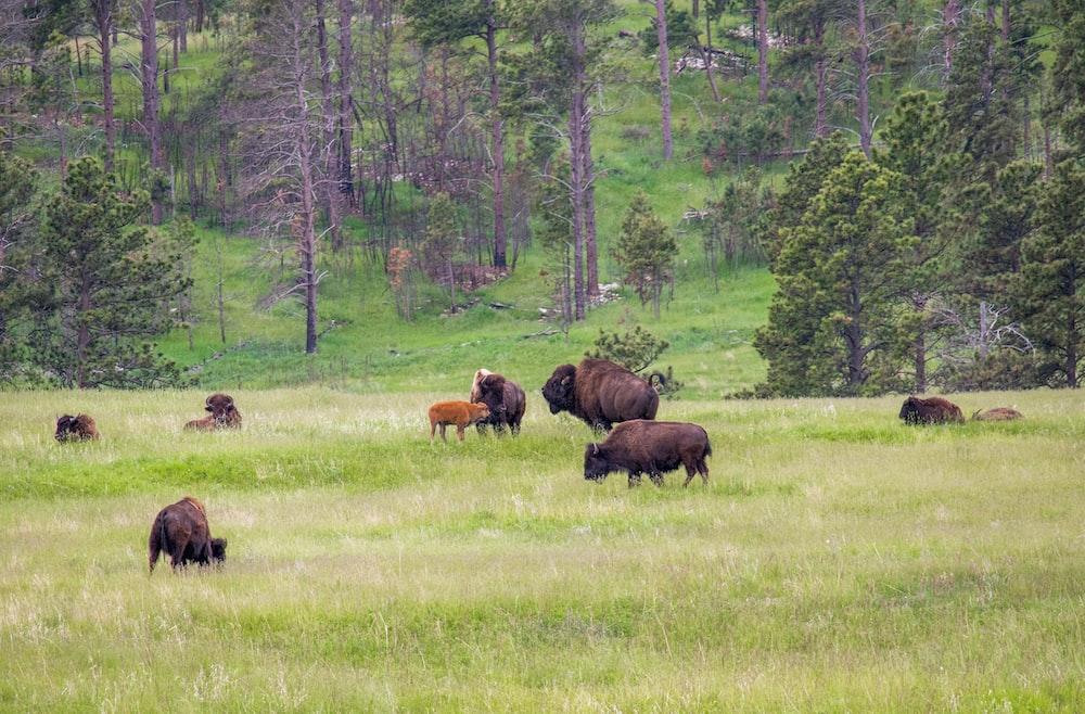herd of bison on grass field