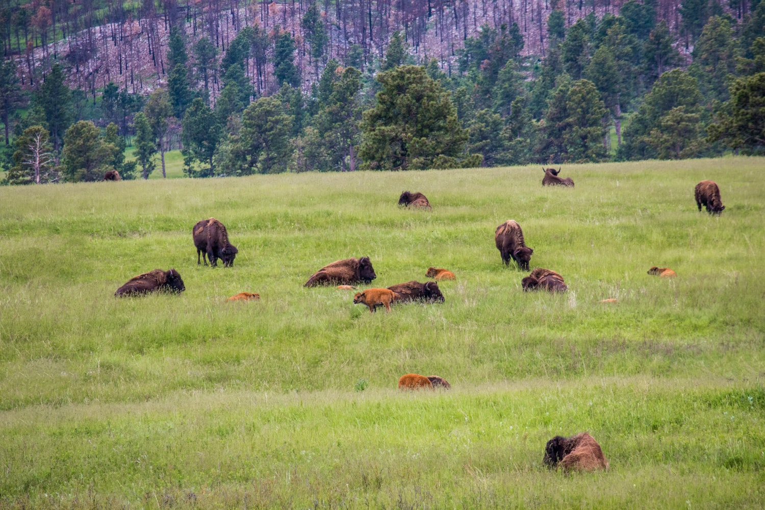 Bison Herd To Be Culled On North Rim Of Grand Canyon National Park