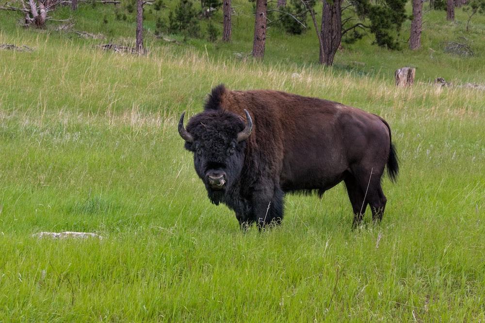 bison standing on grass field