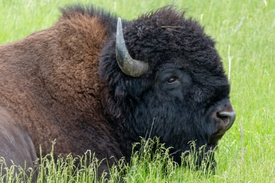 selective focus photography of brown and black ox during daytime south dakota teams background