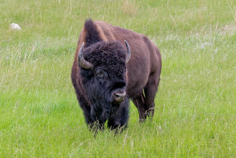 brown bison on green grass field