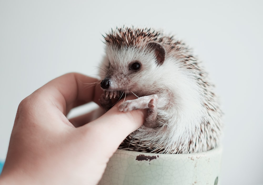 white and brown hedgehog