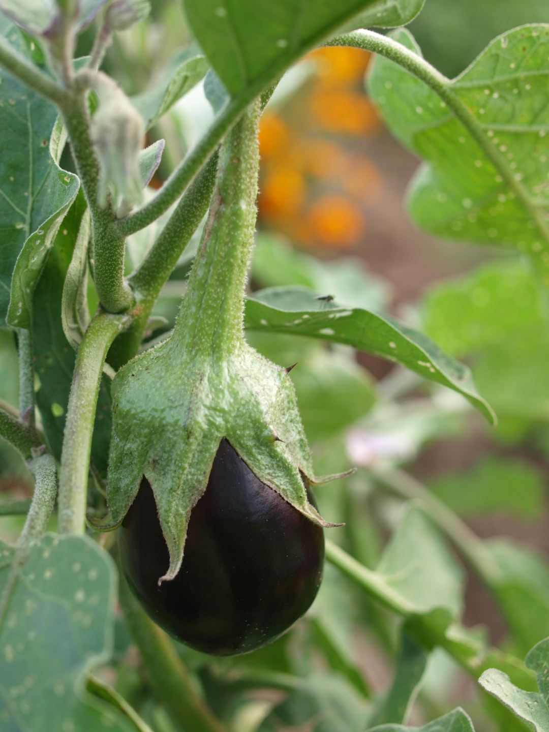 Ripening eggplant in an organic garden. The garden is a demonstration garden in Leesburg, Virginia USA created by the Master Gardening program.
