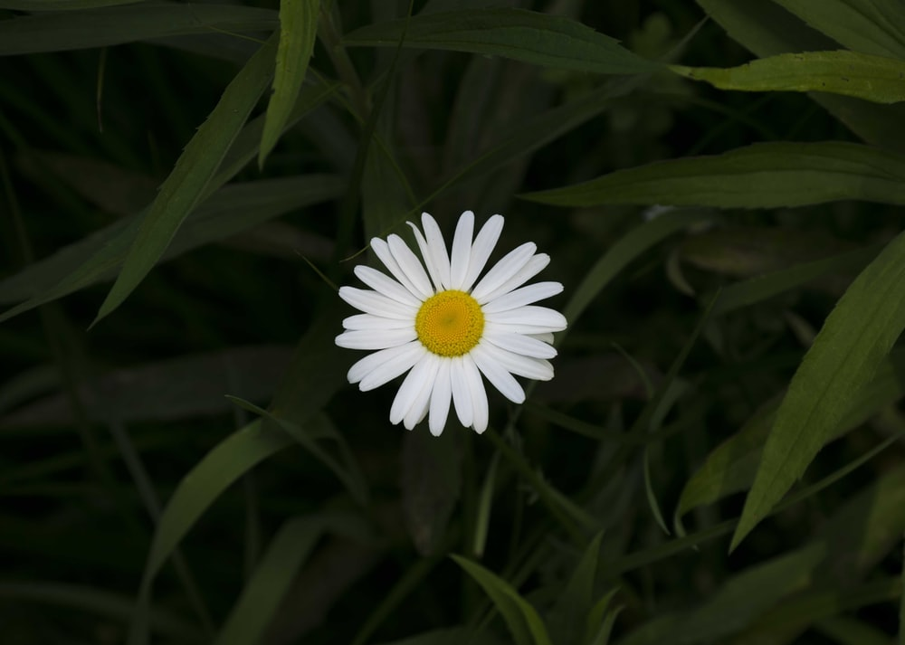 white oxeye daisy blooming