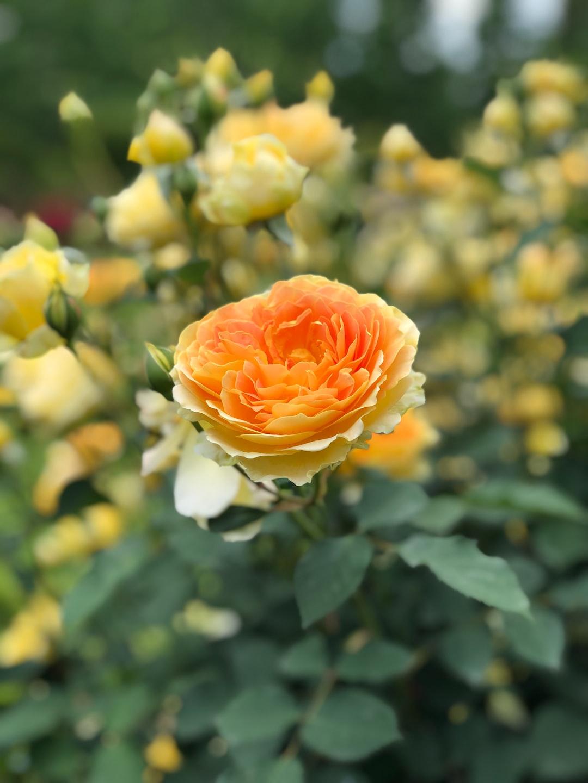 English Rose in the Shinjuku Gyoen National Garden.  Shinjuku Gyo-en is a large park and garden in Shinjuku and Shibuya, Tokyo, Japan.