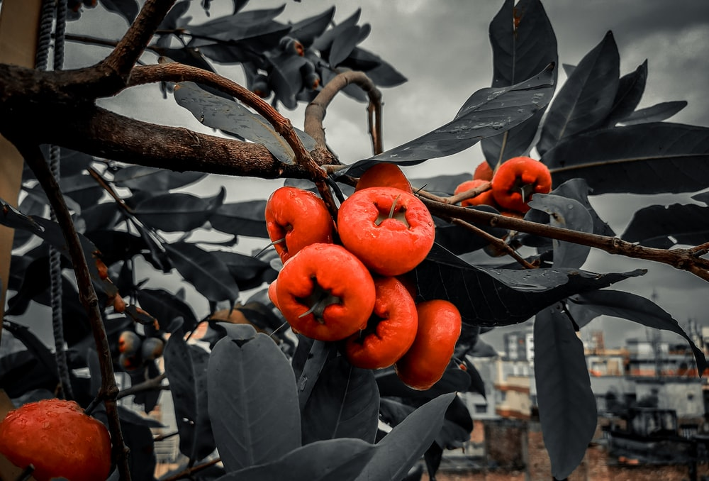 orange fruit growing from tree