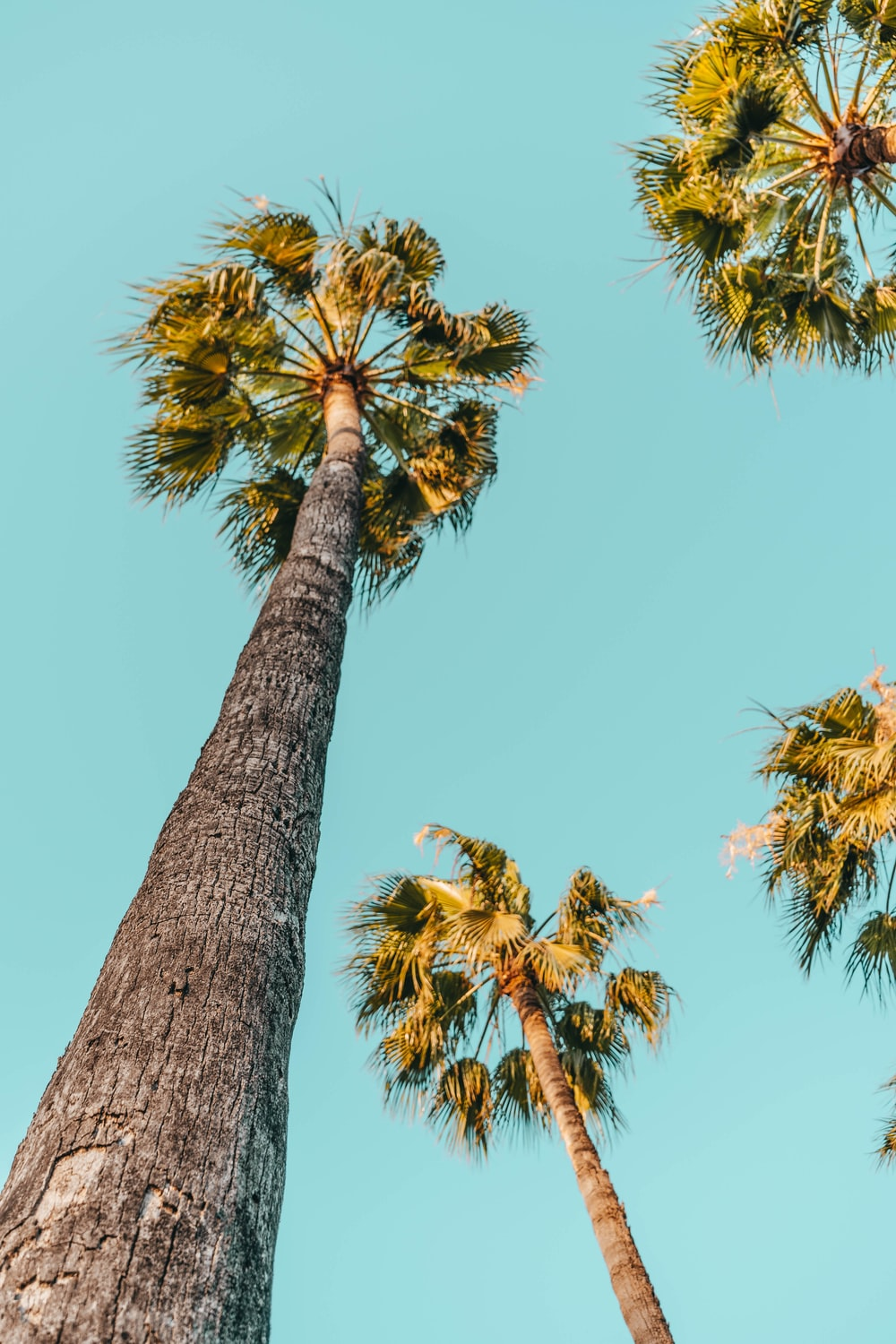 four tall palm trees
