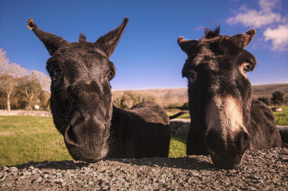 two black donkeys by concrete wall during daytime