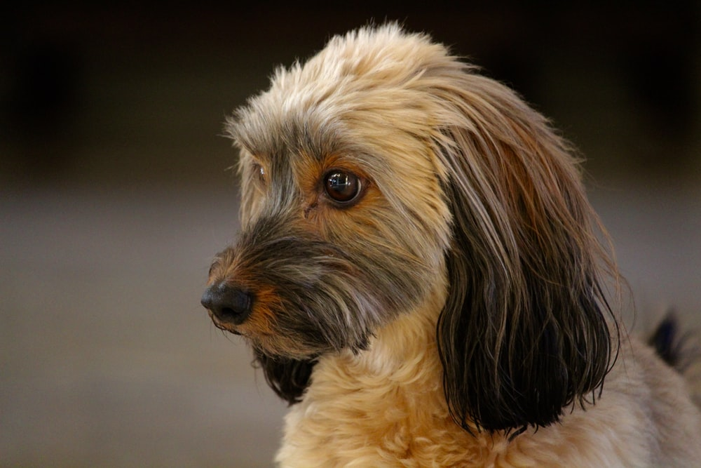 long-coated brown and black dog