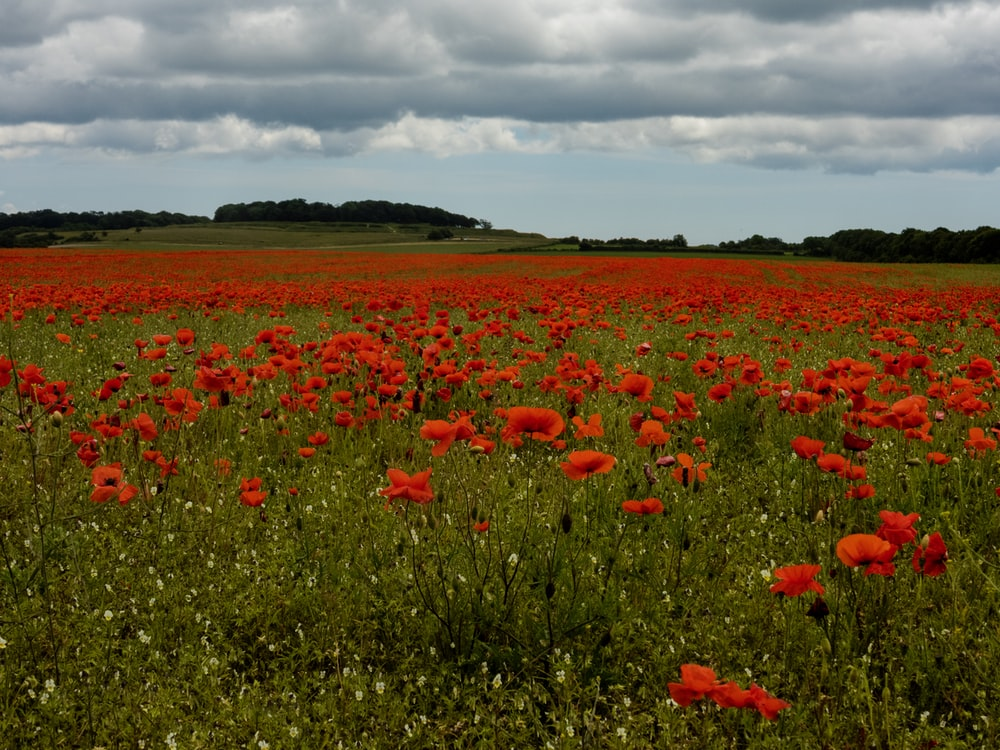 red-petaled flowers field