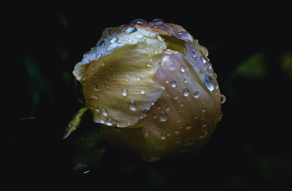 selective focus photography of rose bud with dew
