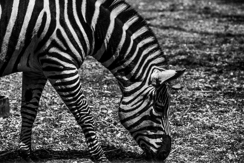 zebra eating grasses