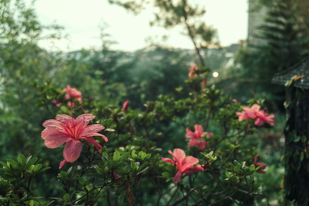 pink hibiscus flowers in bloom