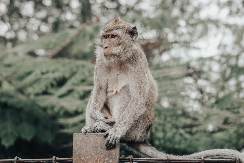 brown monkey sitting on fence